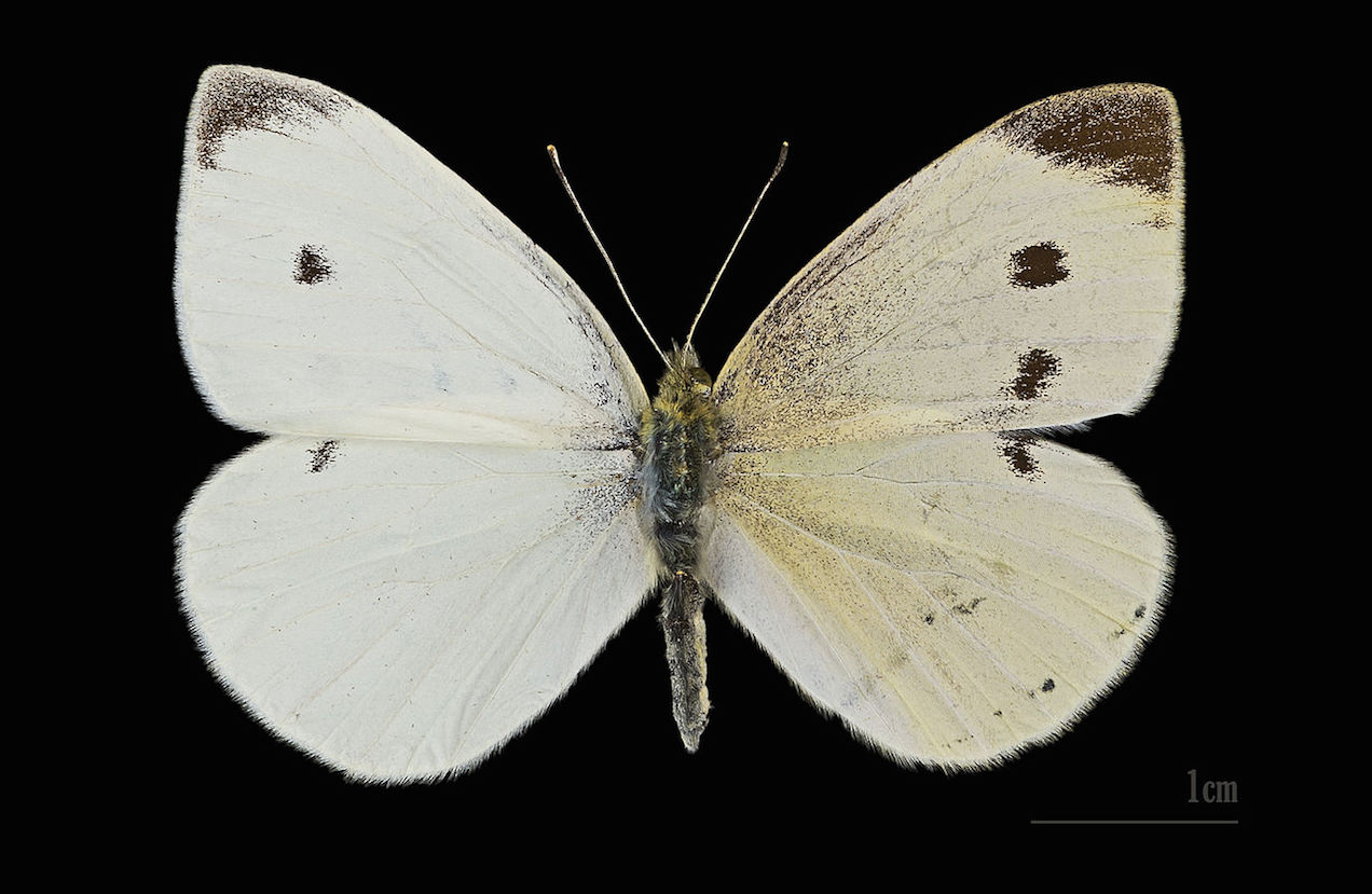 Consider Alternatives >> Cabbage Butterfly is a beautiful pest.