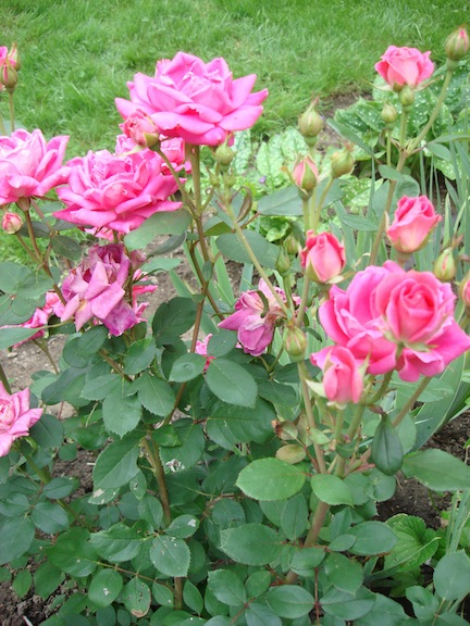 The Hybrid Musk Family Of Roses Will Put On A Great Show If Planted In Drifts As Hedges Or Edges Borders Group They Have Been Known To