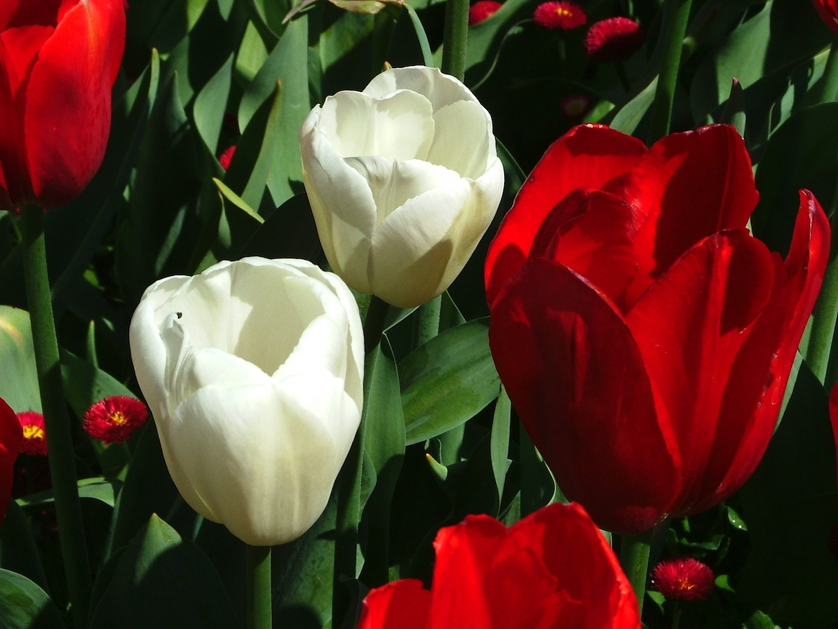 The 140 year dutch canadian friendship tulip gardens 1945 as a symbol of appreciation for the role canadian soldiers played in the liberation of the netherlands and the hospitality canada provided to the biocorpaavc Choice Image