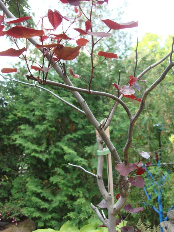 how to prune redbud trees