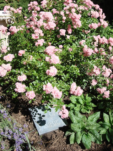 Shrub Roses Take The Best Of Harst Rose Species And Combine Those Traits With Modern Repeat Blooming Diverse Flower Forms